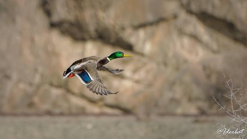 Монгол орны шувууд #4