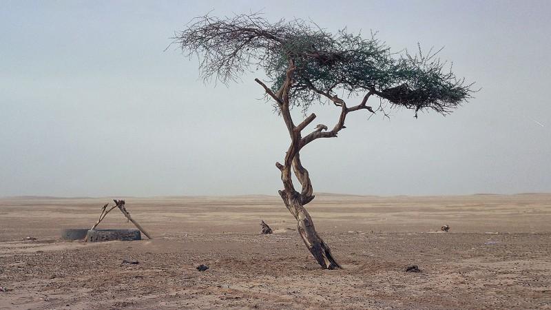 Тенерийн өнчин мод