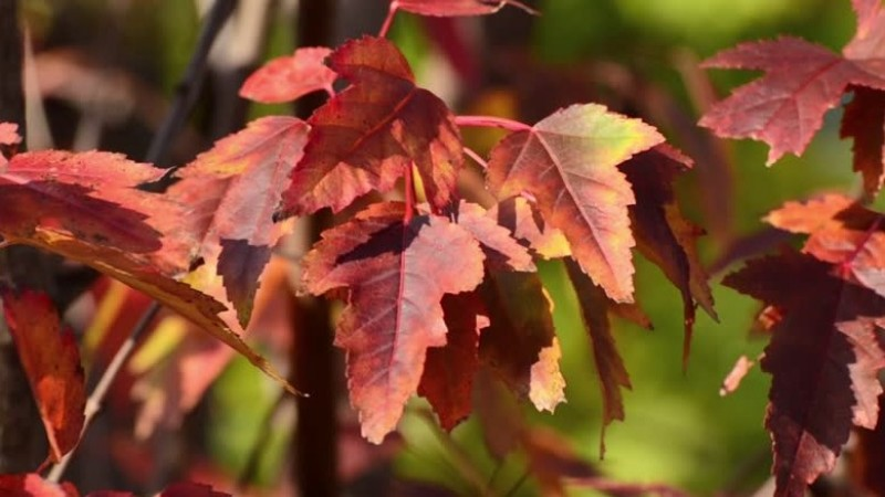 Acer tataricum subsp. ginnala - Гиннал агч